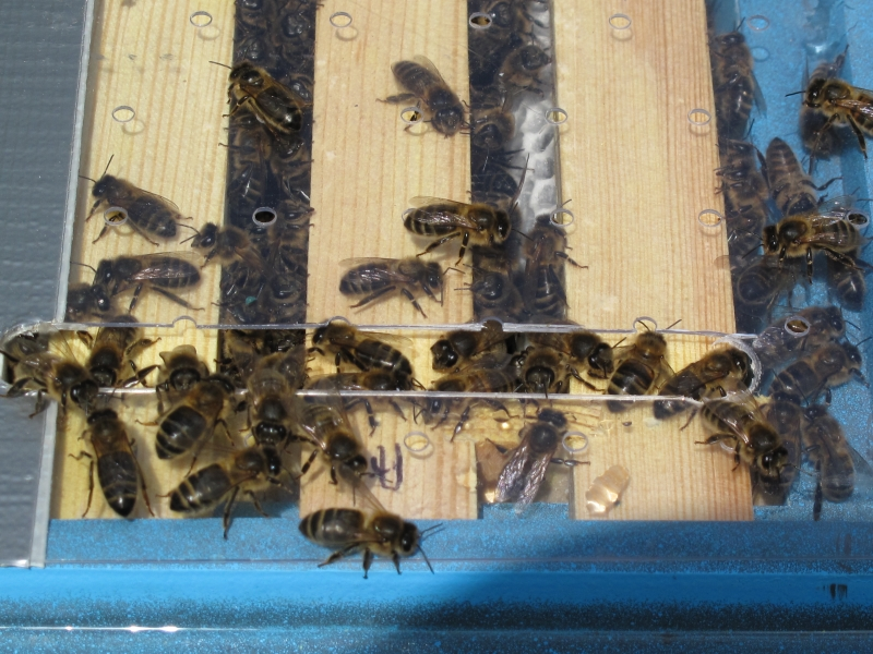 Miniplus nucs at Glendevon Isolated Mating Apiary 004